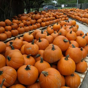 Pumpkins galore at St. Martin's Episcopal Church's pumpkin patch in Metairie